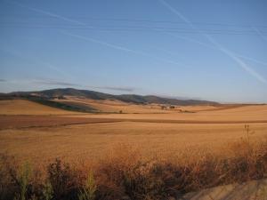 Standing wheat.