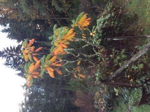 Sumac beginning it's Fall colors.