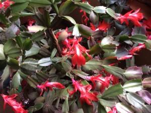 Rebecca's Christmas Cactus In Bloom.