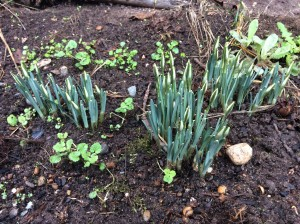 Snowdrops getting ready to bloom!