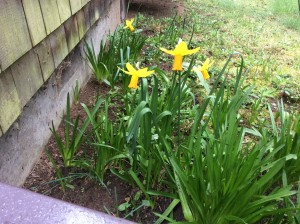 Daffodils adding to the sweet spring smells.