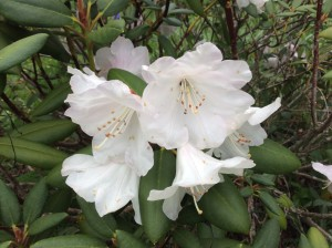 Beautiful.   One of My Rebecca's rhododendrons.
