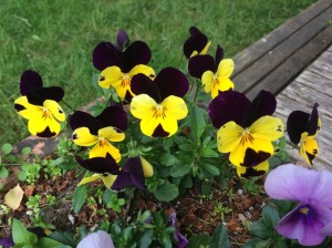 Pansies, making it happen!