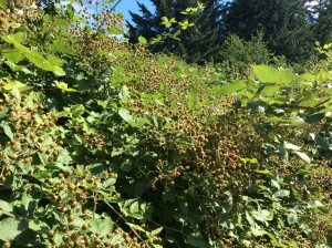 Here at the ranch, blackberries in the sun, ripening.
