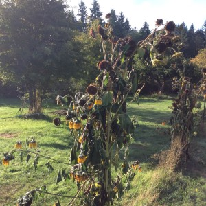 The sunflowers are full of seeds and full of birds.  We tied bundles of the cut stalks up to the fence posts.