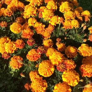 Marigolds in  My Rebecca's garden.  Nice.