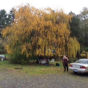 There is My Rebecca waving by the weeping willow tree in it's pretty yellow fall color.