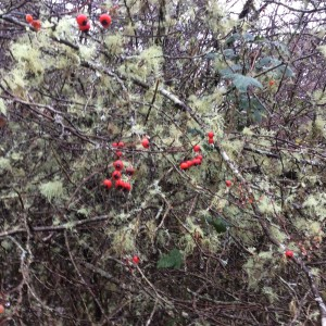 The hawthorn fruit (haws) and the lichen covered branches.