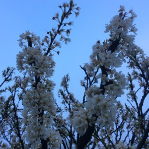 Plum blossoms ready for a big day.
