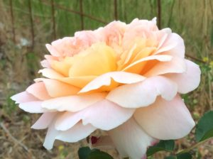 A creamy rosy sort of beauty.