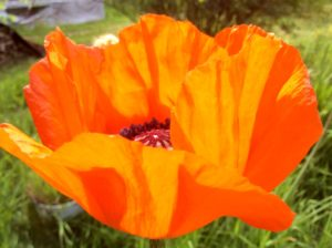 These beautiful poppies aways arrive in time for Memorial Day helping us to remember our war dead.